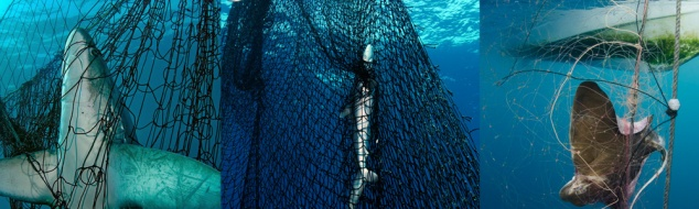 Bycatch: A thresher shark, silky shark and bat ray