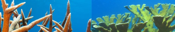 Healthy Staghorn (left) and Elkhorn (right) corals