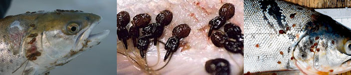 Parasitic sea lice