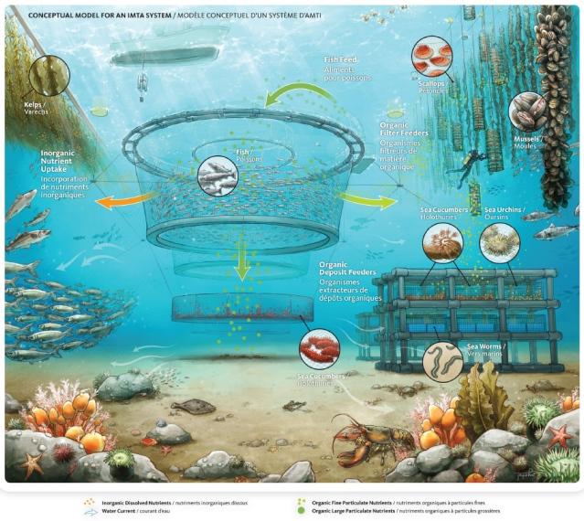 A conceptual model of an IMTA System - Credit: http://www.dfo-mpo.gc.ca/aquaculture/sci-res/imta-amti/imta-amti-eng.htm