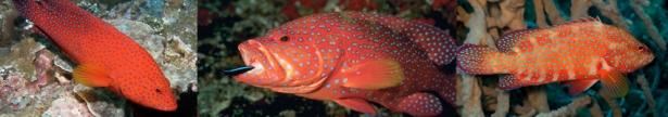 Coral Trout (Plectropomus spp) individuals