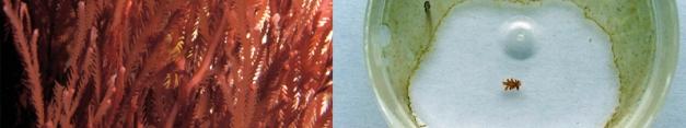 Baby delisea in petri dish inhibiting mixed biofilm by exuding furanones - Photograhpher: Peter Steinberg