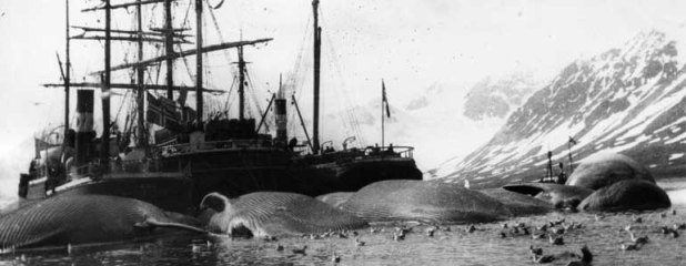 A whaling ship surrounded by several dead whales lying in the sea at Spitsbergen, Norway; ca. 1905.