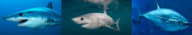 The mako, porbeagle and blue fin tuna all exhibit endothermy