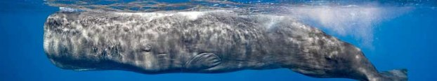 The sperm whale (Physeter macrocephalus) - prized by american whalers