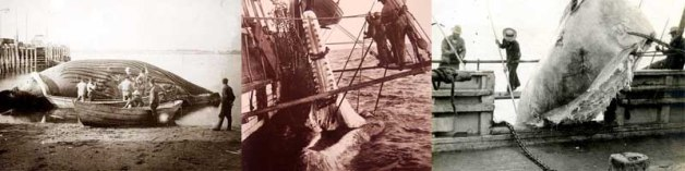 American whalers during the declining phase of the whaling trade in the early 1900s.
