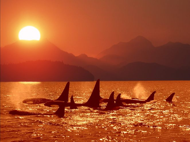 killer_whales_at_sunset_red_orca_animals_hd-wallpaper-208321