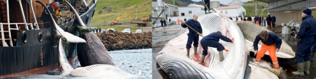 Iceland resumed commercial whaling in 2006 despite twenty-five nations delivering a formal diplomatic protest