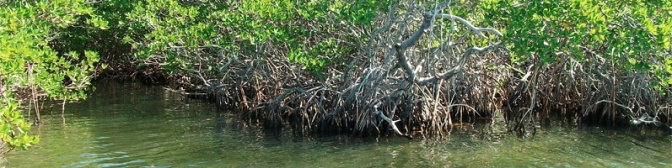 Root systems of mangroves provide safety for juvenile marine animals