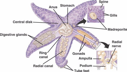 The complex internal anatomy of the common starfish