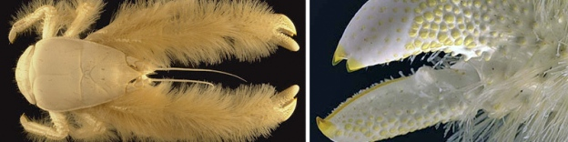 The overall furry appearance of the yeti crab and a closer look at its setae