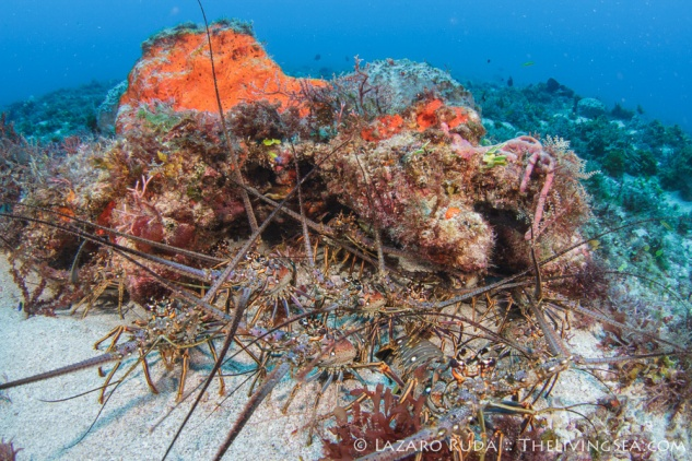 An example of spiny lobster aggregations in Florida - Credit: Lazaro Ruda