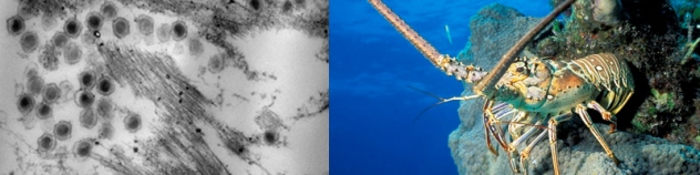 TEM of PaV1 viral particles and a healthy spiny lobster