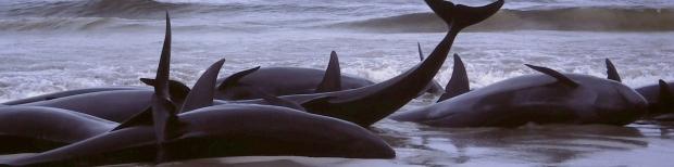 A mass stranding of false killer whales at Flinders Bay, Western Australia.