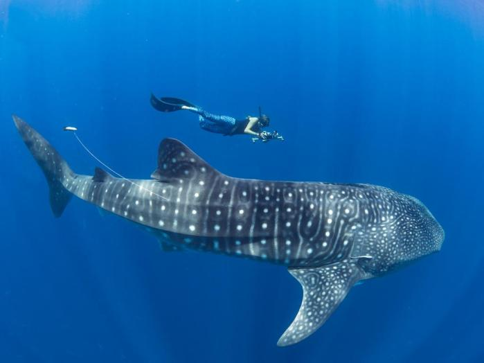 0.57099400_1526562668_stella-diamant-with-tagged-shark---copyright-simon-j-pierce,-www-simonjpierce-dot-com-(2)