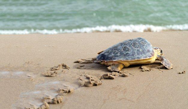 bigstock-Loggerhead-Sea-Turtle-Caretta-8344203-14c4f349