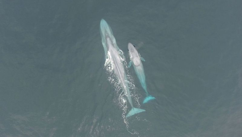 blue_whales
