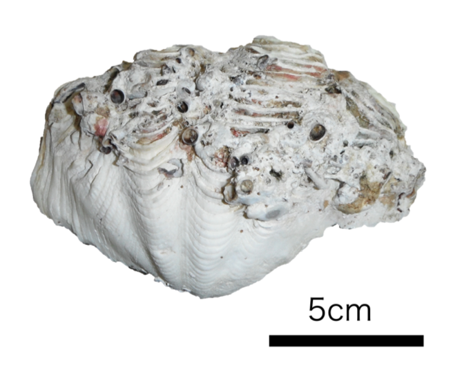 Fig2-Giant-clam-shell